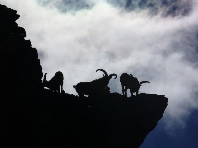 Elbruští kamzíci