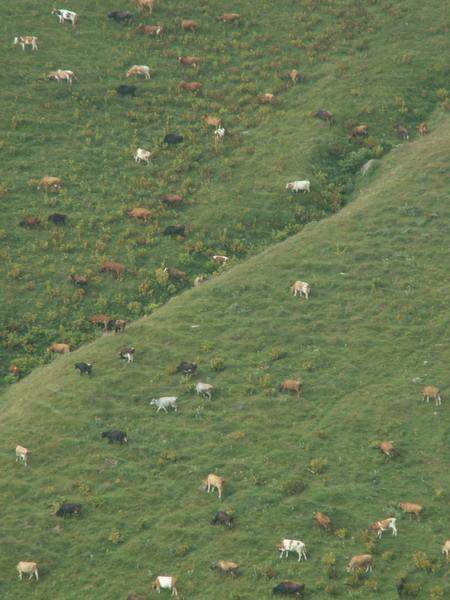 Krávy pasoucí se na kavkazských svazích, Kazbegi, Gruzie