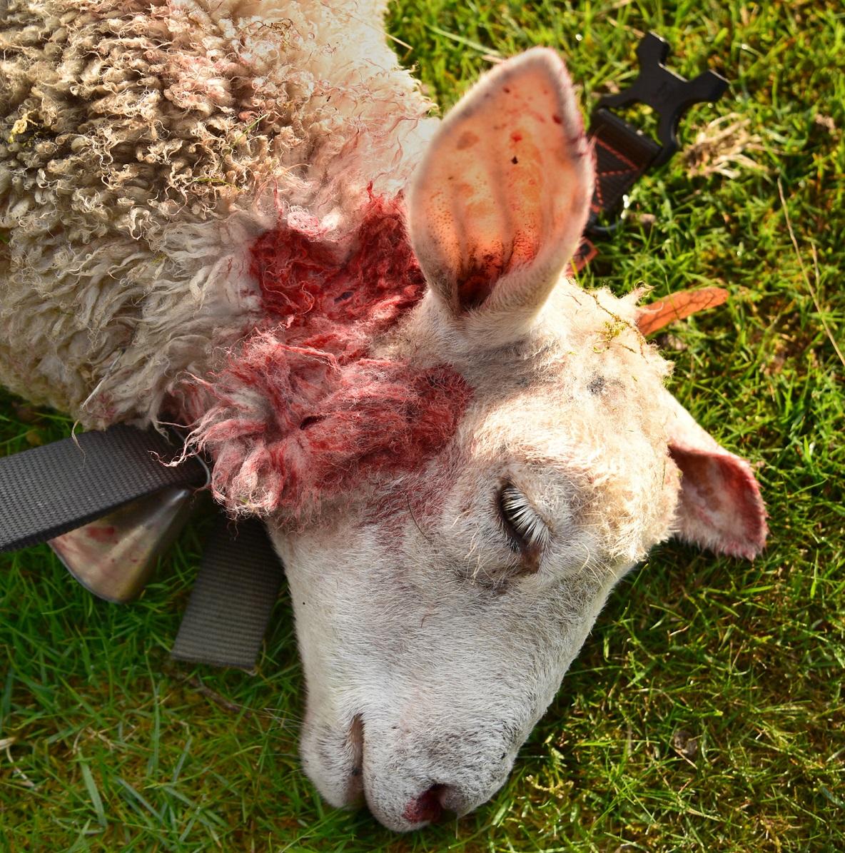 Ovce zabitá vlky v Doubici na hranicích NP České Švýcarsko (září 2018), v tomto roce šlo již o třetí útok vlků na farmu.<br />