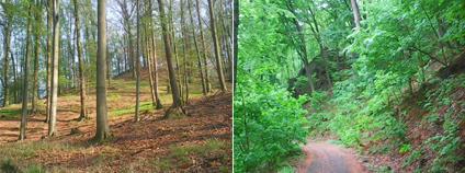Vlevo vzrostlý listnatý les. Vpravo vzrostlý listnatý les s přirozeným zmlazením.