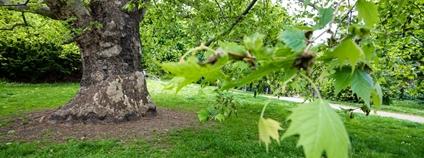 Začíná hlasování o Stromu roku 2021. Nadace Partnerství