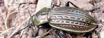 Střevlík Ullrichův Foto: Siga Wikimedia Commons