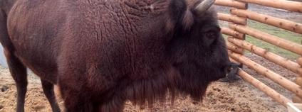 Zubr v táborské zoo Foto: Xzuzana Wikimedia Commons