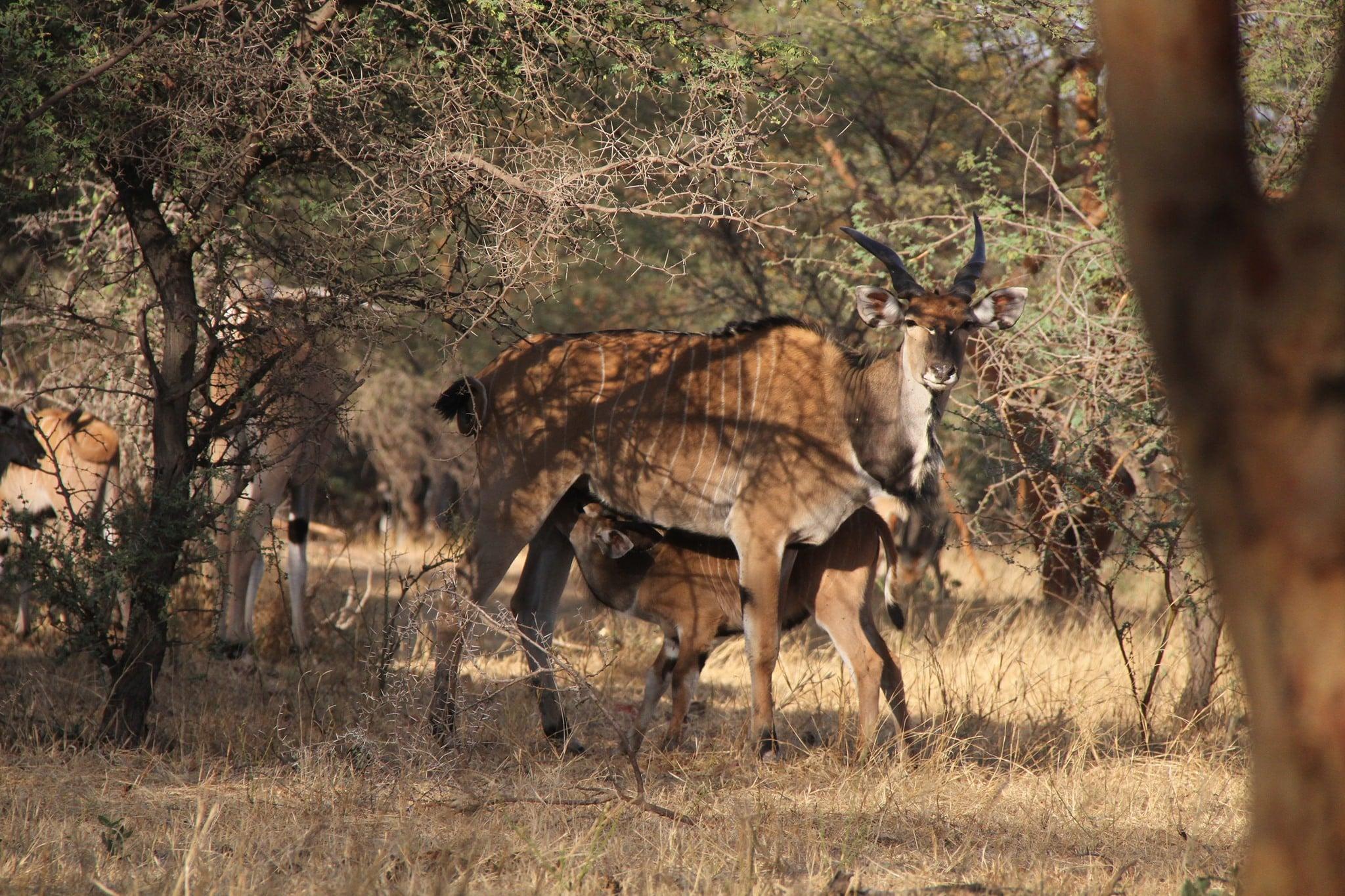 Jan Stejskal: Jak se daří největším antilopám světa? Naděje stále žije
