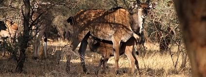 Antilopa Derbyho Foto: Markéta Grúňová Safari park Dvůr Králové
