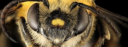 Foto: USGS Bee Inventory and Monitoring Lab / Flickr