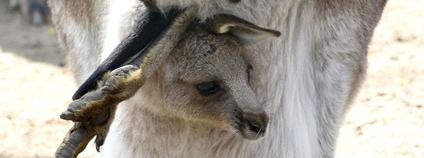 Mládě klokana obrovského v hodonínské zoo Foto: Zoo Hodonín / Facebook