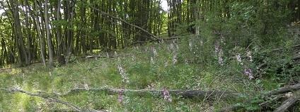 Porost třemdavy bílé v jednom z čerstvě prosvětlených lesů v kaňonu. / Fórum ochrany přírody