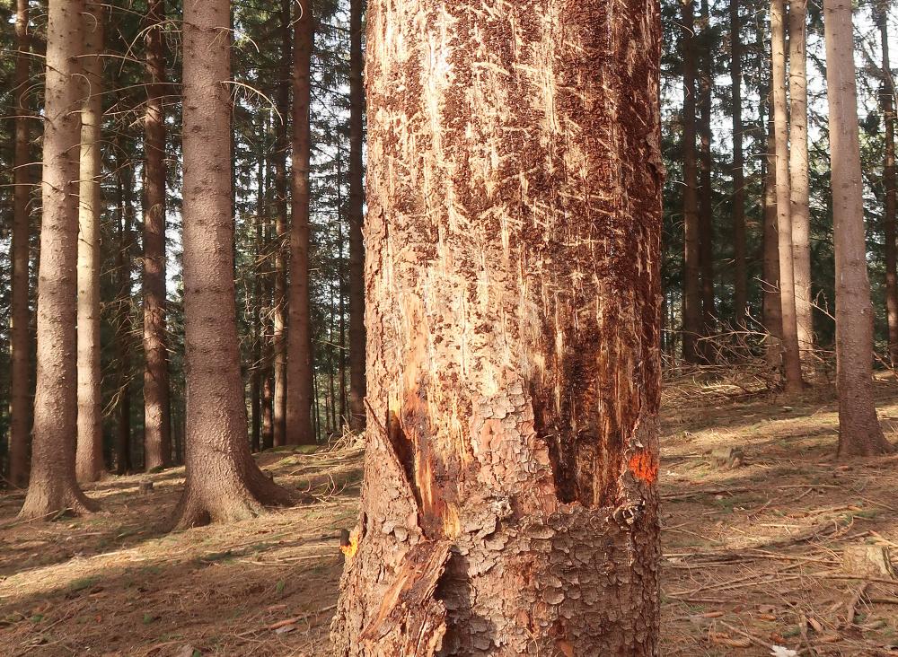 Kůrovcová kalamita v podhůří Jeseníků pohledem ochrany přírody.