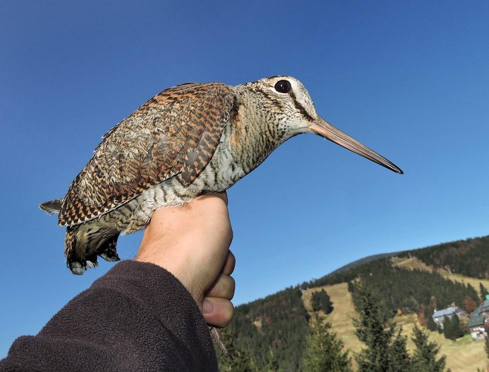 Červenohorské sedlo: historie a současnost sledování (nejen) ptačí migrace na našich horách.