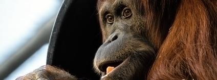 orangutan sumaterský Foto: Petr Hamerník Zoo Praha
