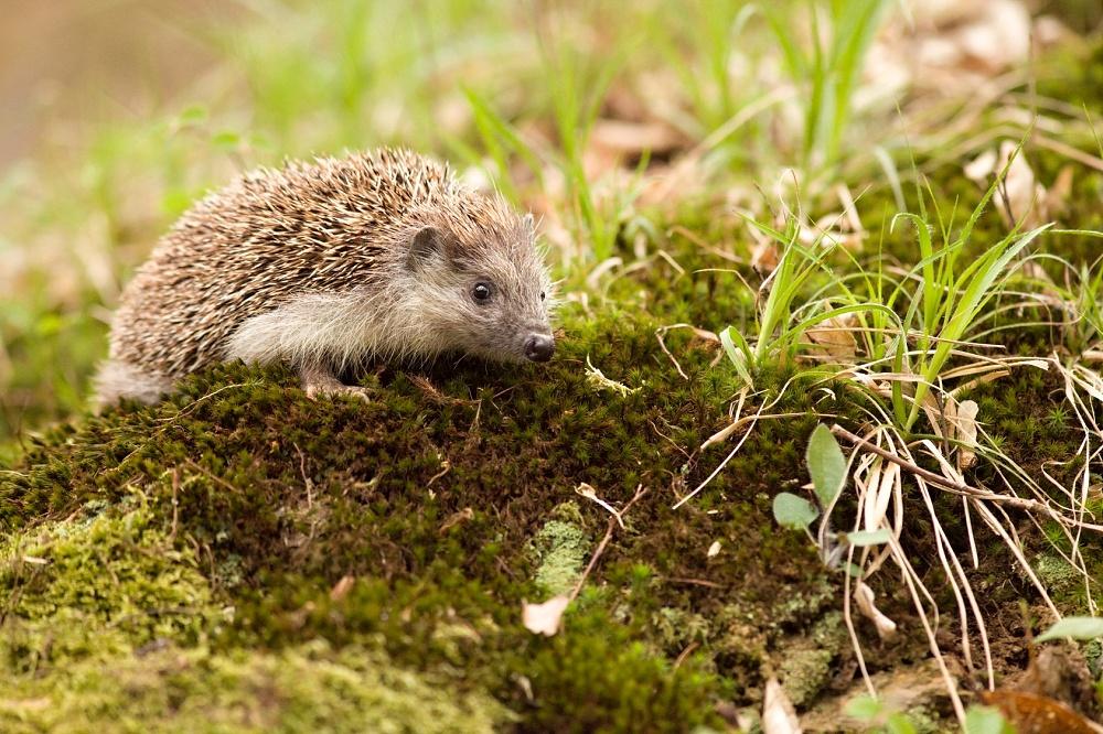 Několik zimovišť pro ježky a další živočichy dá v katastru Prostějova vybudovat radnice, aby jim tímto způsobem pomohla přečkat zimní období. / Ilustrační foto