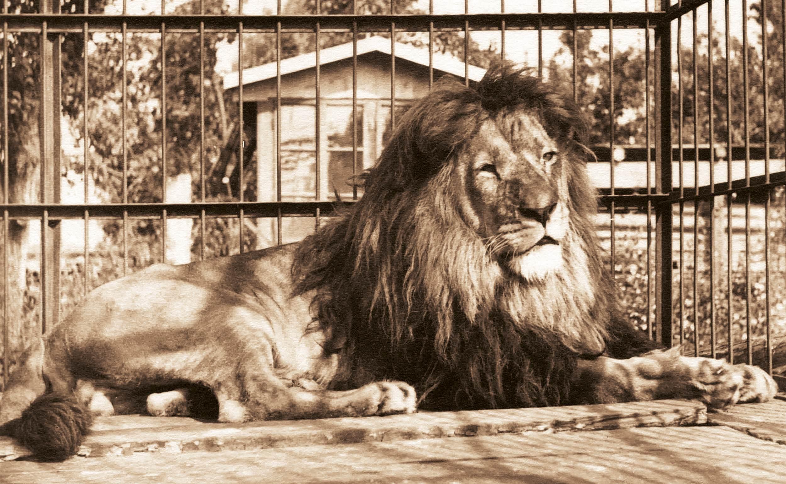 Mezi nejslavnější zvířata vprvních desetiletích provozu dvorské zoo patřil lev Rémus. Jeho expozice byla postavena před exotickým pavilonem, dřívějším skleníkem. Dnes je na tomto místě trávník poblíž vchodu do zoologické zahrady a restaurace U Lemura.