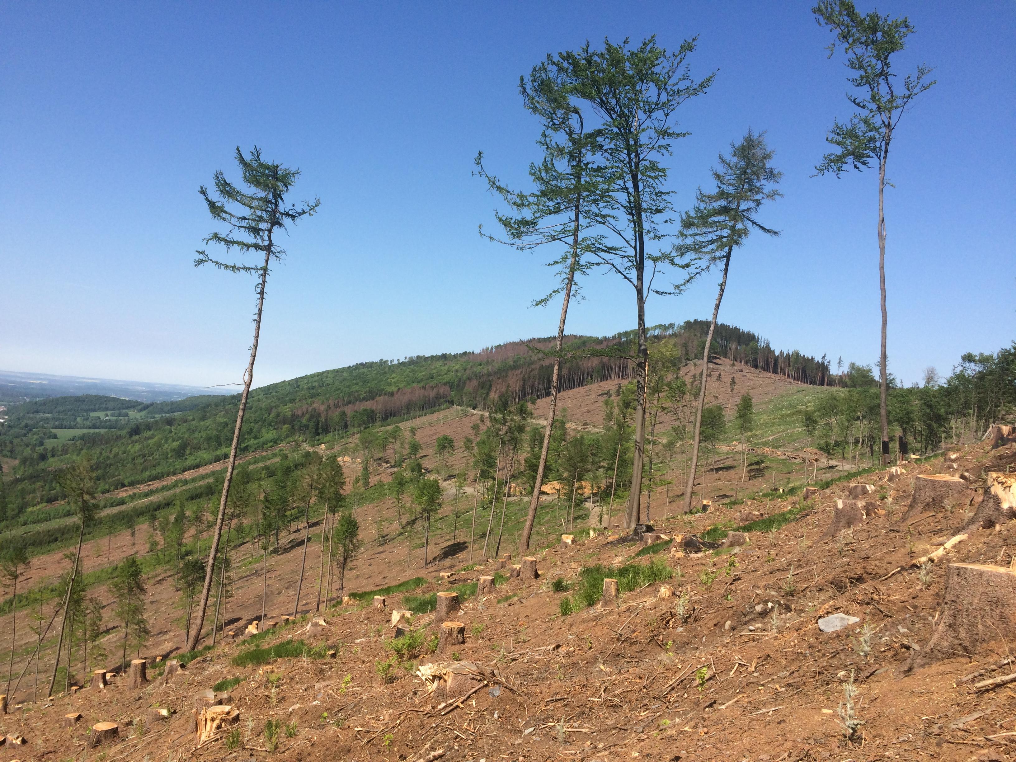 """Smrkové porosty se hybnou kvůli suchu. Oslabené stromy napadá kůrovec. Kůrovcové souše se těží a následně se tvoří kalamitní holiny obřích rozměrů. Následné se zalesňují listnáči, ale i opět smrkem. Byť stanoviště a poloha pro jejich růst není optimální, pěstuje se s rizikem, že opět uschne. Zřejmě proto, že smrk je nyní a stále nějakou dobu ještě bude """"chléb"""" českých pil. Jestli tomu budu i za 50 či 100 let, není už zcela jasné. Může tomu být právě naopak, protože dřevařský průmysl se dynamicky vyvíjí."""