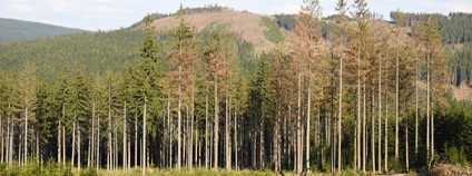 Kůrovcem napadené stromy v CHKO Jeseníky.
