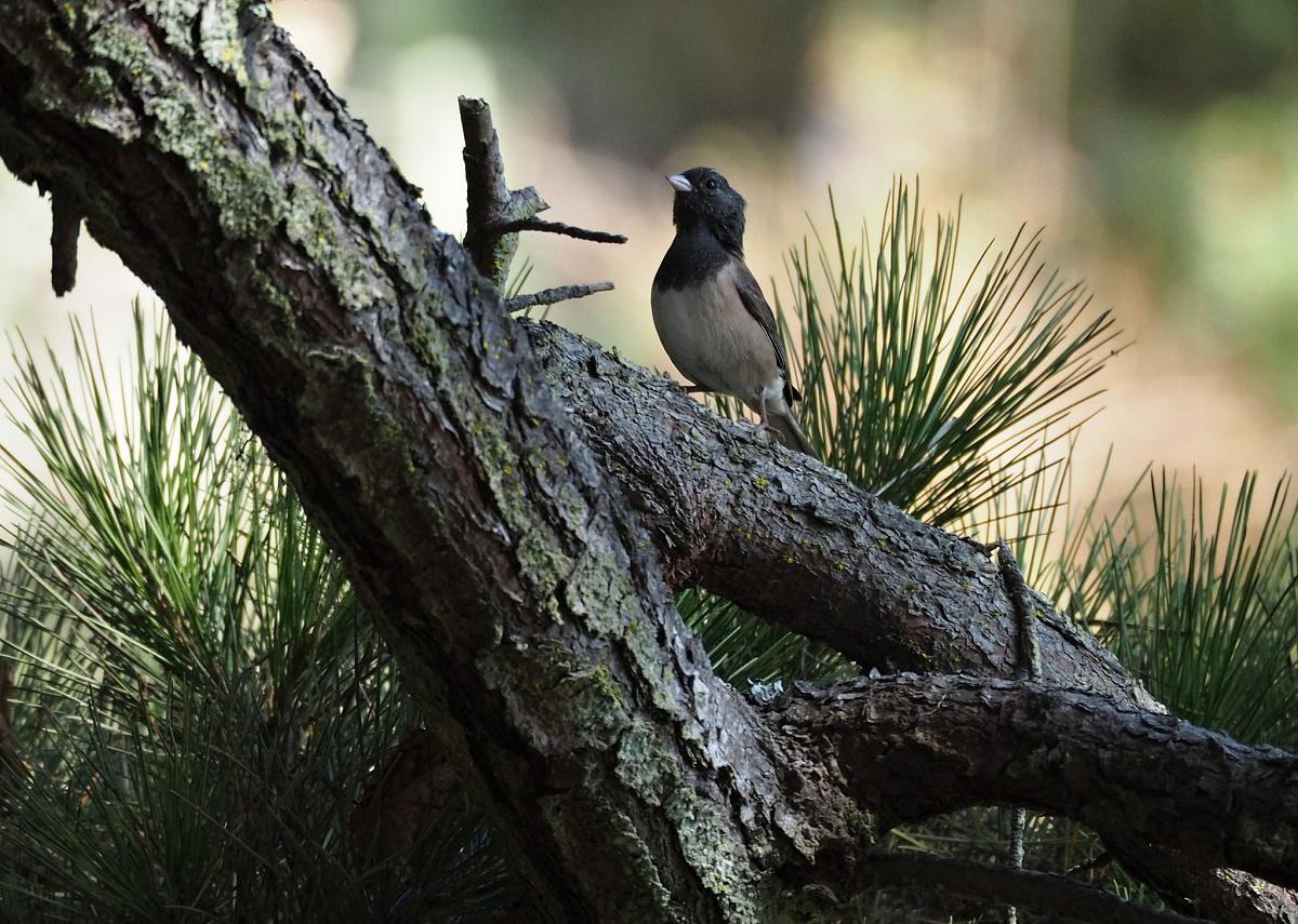 Samičky strnadce zimního za normálních okolností nezpívají.