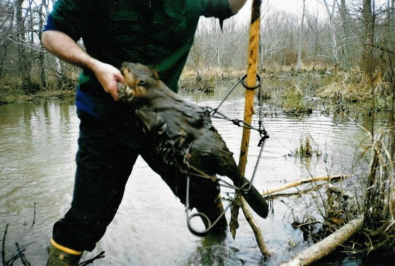 fotky mladého bobra