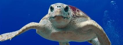 Želva v oceánu Foto: tpsdave Pixabay