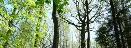 Pohled do středního lesa na živnějším stanovišti, jenž není obhospodařován tvarem středním, byť se na tomto území historicky nacházel, přesto je zde plně patrný na rozsáhlém území (Přírodní rezervace Žernov, Pardubický kraj, Lesy ČR).