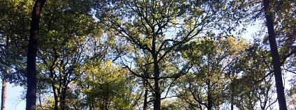 Kvalitní dub zimní, který se dobře vyvinul v systému středního lesa.