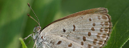 Pseudozizeeria maha Foto: Laitche / Wikimedia Commons