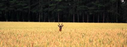 srnec v poli Foto: Rowley Taylor Flickr