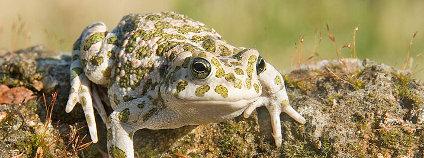 Ropucha zelená Foto: Richard Bartz Wikimedia Commons