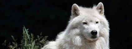 Vlk arktický Foto: Cephas Wikimedia Commons