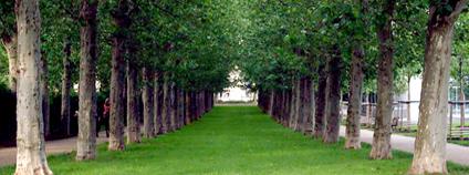 Platanová alej na Letné Foto: Aktron Wikimedia Commons