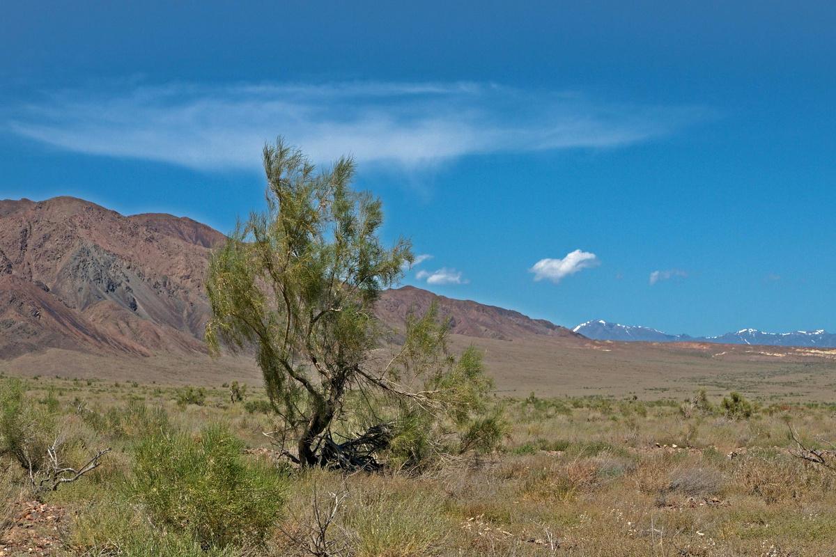 Saxaulové keře dokáží přežít v zasolené půdě s minimem vláhy a svými hlubokými kořeny jsou schopny fixovat až deset tun horniny. Na ilustračním snímku saxaulový keř v Kazachstánu.