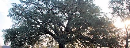 Foto: Evropský strom roku