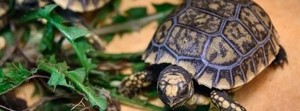 Ve zlínské zoologické zahradě se vylíhlo osm mláďat želvy pralesní. Želva pralesní (Chelonoidis denticulata, dříve také Geochelone denticulata) je suchozemská želva vyskytující se v Amazonii. Jedná se o třetí největší pevninskou a celkově o pátou největší želvu na světě.