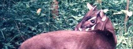 Saola Foto: Silviculture Wikimedia Commons