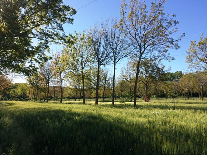 Obilniny stíněné ořešákem na agrolesnických plochách v ... 943f4817fc