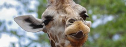 Žirafa Foto: Aidas Ciziunas / unsplash.com