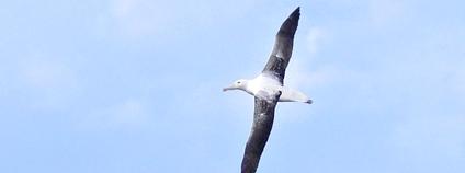 Albatros královský Foto: Nik Borrow Flickr
