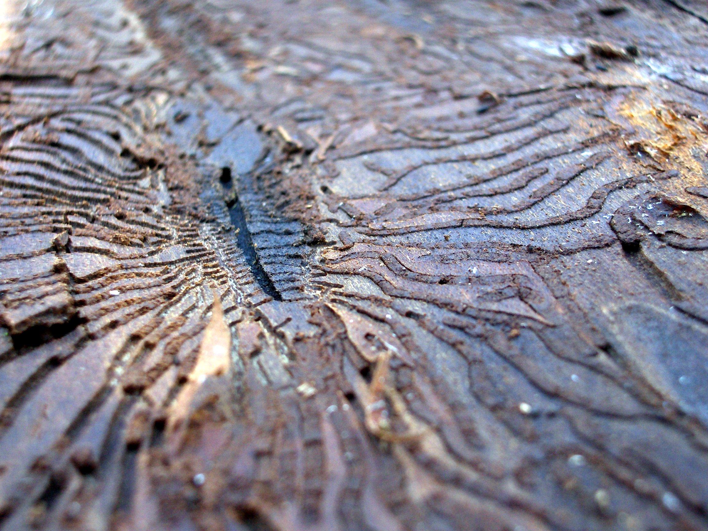Жук короед насекомые фото 5
