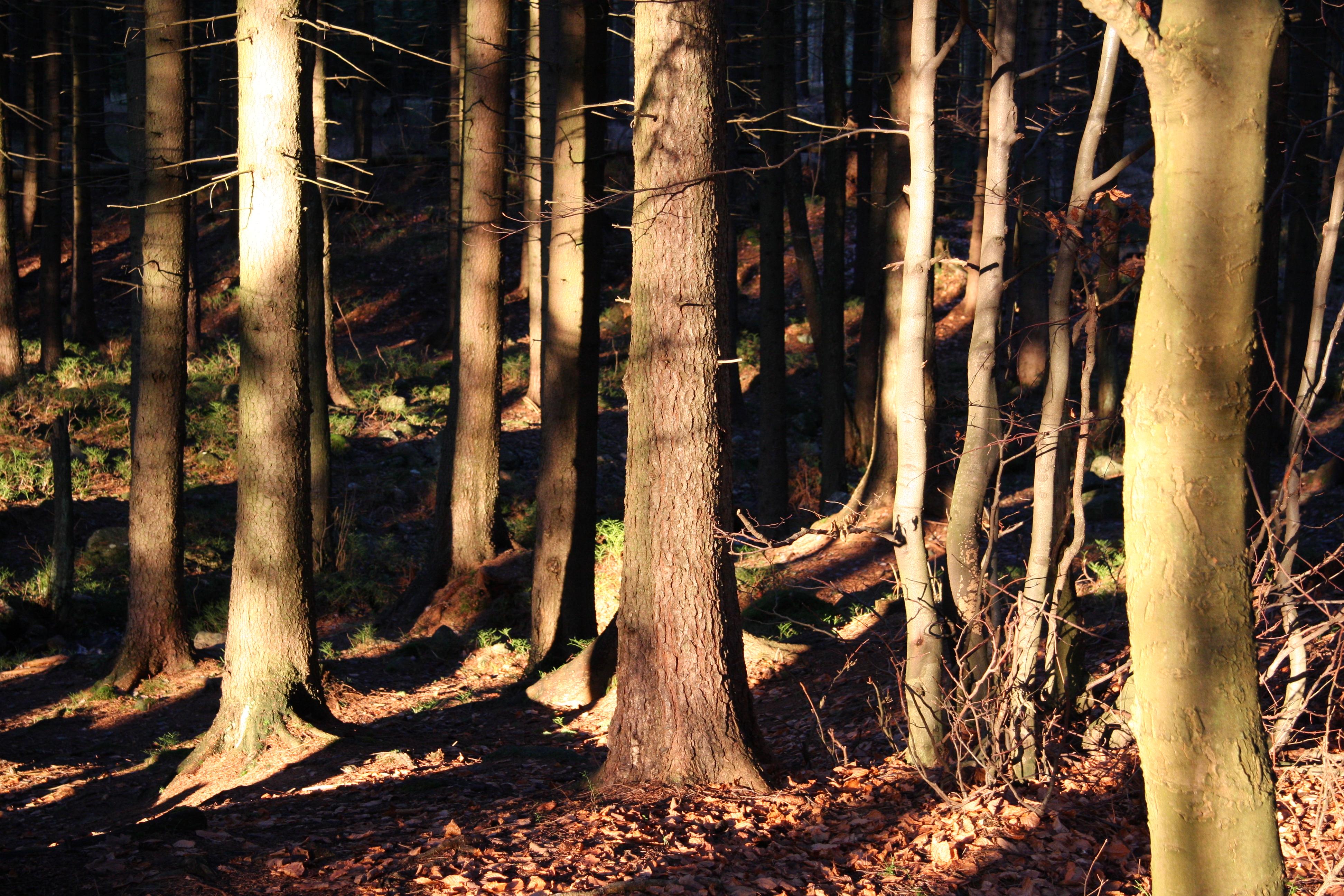 Les nedaleko Harrachova v Krkonoších