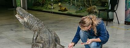 V Rusku vycpali aligátora, jenž přežil bombardování Berlína Foto: darwinmuseum.ru