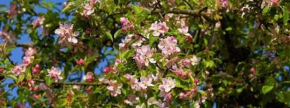 Kvetoucí jabloň Foto: Kapa65 pixabay