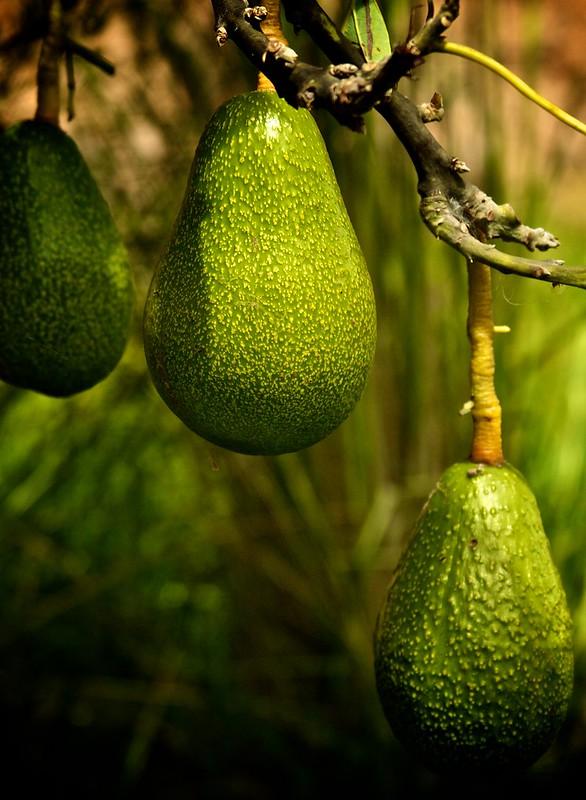 Za avokádový boom platí portugalské Algarve platí vysokou cenu