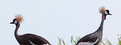 Jeřáb královský Foto: Fang HSIEH Flickr