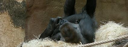 Gorila Bikira v pražské zoo Foto: Willard Flickr