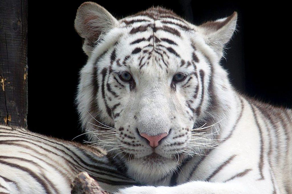 V Liberci od pátku už nejsou dvě bílé tygřice, které stát zabavil před čtvrt rokem ze soukromého chovu. / Ilustrační foto