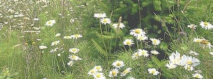Kopretiny Foto: Quadell Wikimedia commons