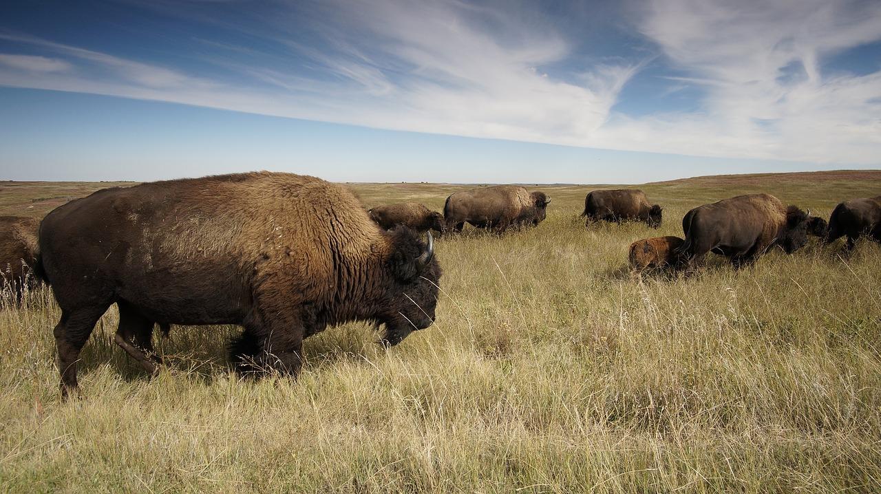 O možnost odstřelit bizona u amerického Velkého kaňonu má zájem 45 000 lidí