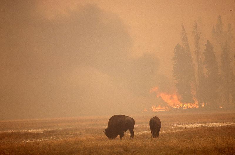 Bizoni se pasou v parku Yellowstone, zatímco nedaleko hoří les (1988)