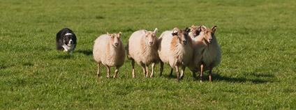 ¨Border kolie a ovce Foto: nikontino Flickr.com