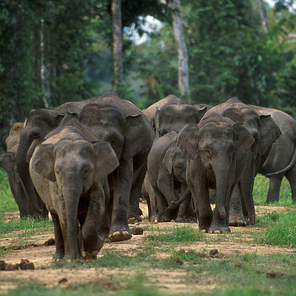 """Na Borneu nežijí """"bornejští"""" sloni, ti nikdy neexistovali, nýbrž sloni z jinédávné, jinak už vymřelé populace, na Borneo nedávno dovezení. Na Borneu nejspíš přežívá vymřelý jávský slon. Na snímku sloni na Borneu"""