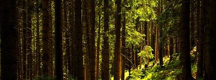 Boubínský prales Foto: Keete 37 Wikimedia Commons